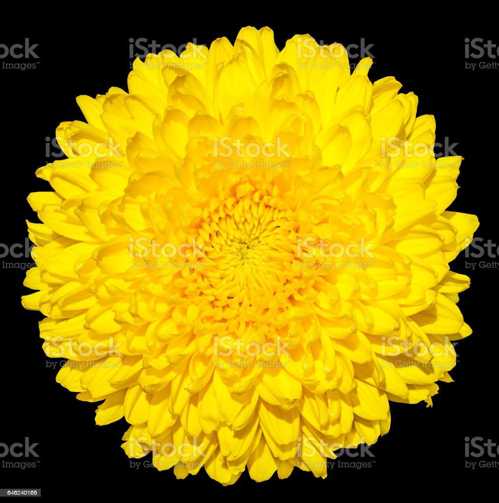 Yellow chrysanthemum (golden-daisy) flower macro photography isolated on black stock photo