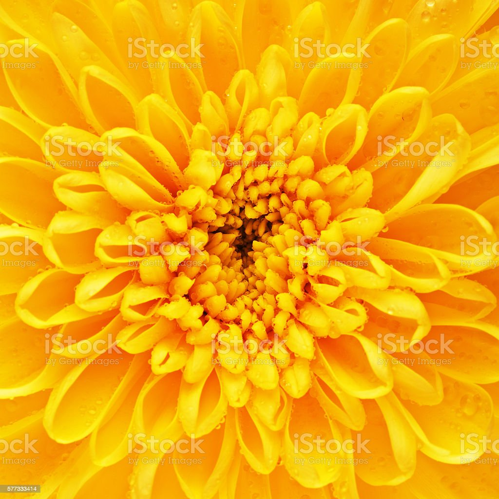 Yellow Chrysanthemum Flower Petals stock photo