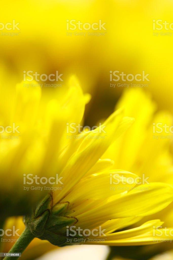 Yellow Chrysanthemum flower stock photo