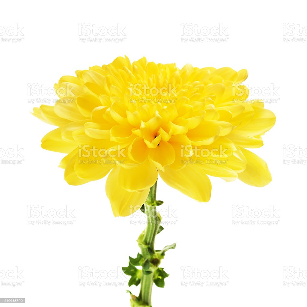 Yellow Chrysanthemum Flower stock photo