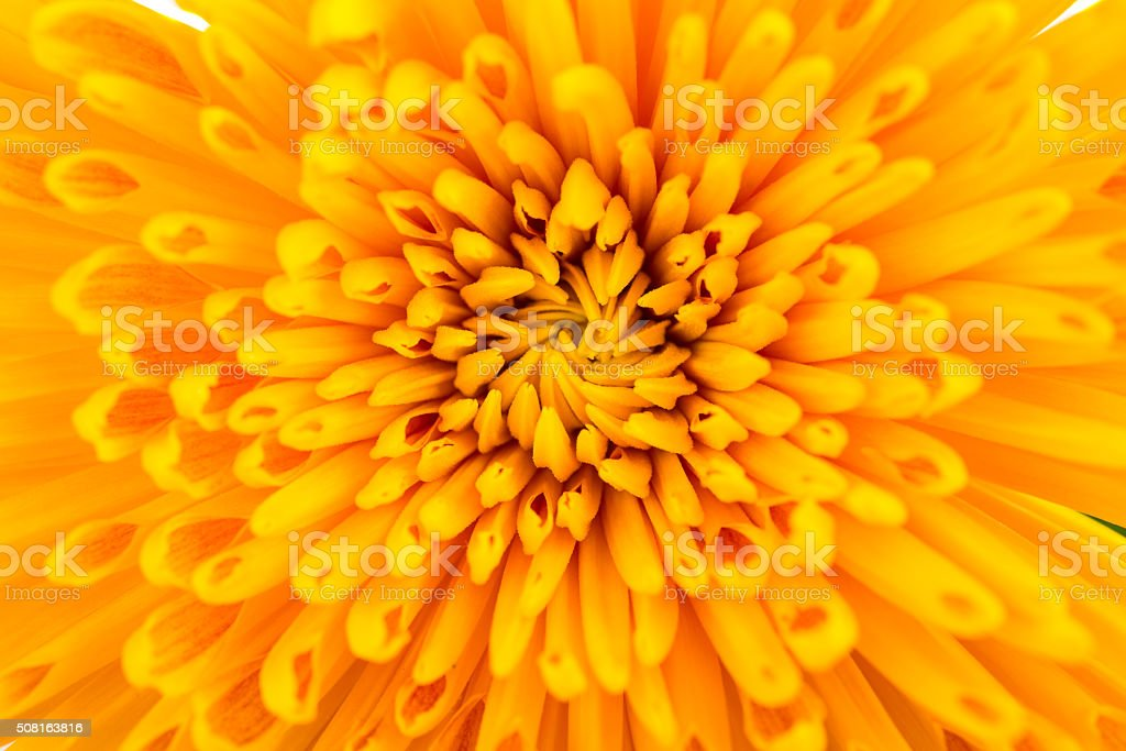 yellow Chrysanthemum flowers stock photo