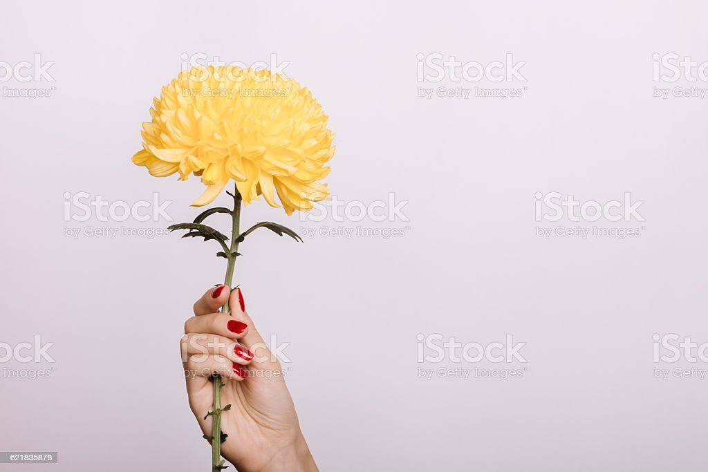 Yellow Chrysanthemum in a female hand with red manicure stock photo