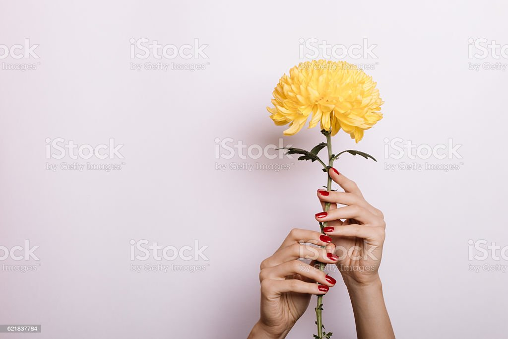 Yellow Chrysanthemum in a female hands with red manicure stock photo