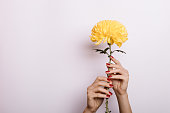 Yellow Chrysanthemum in a female hands with red manicure