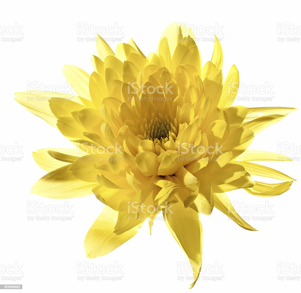 Yellow chrysanthemum, isolated with clipping path on white background stock photo