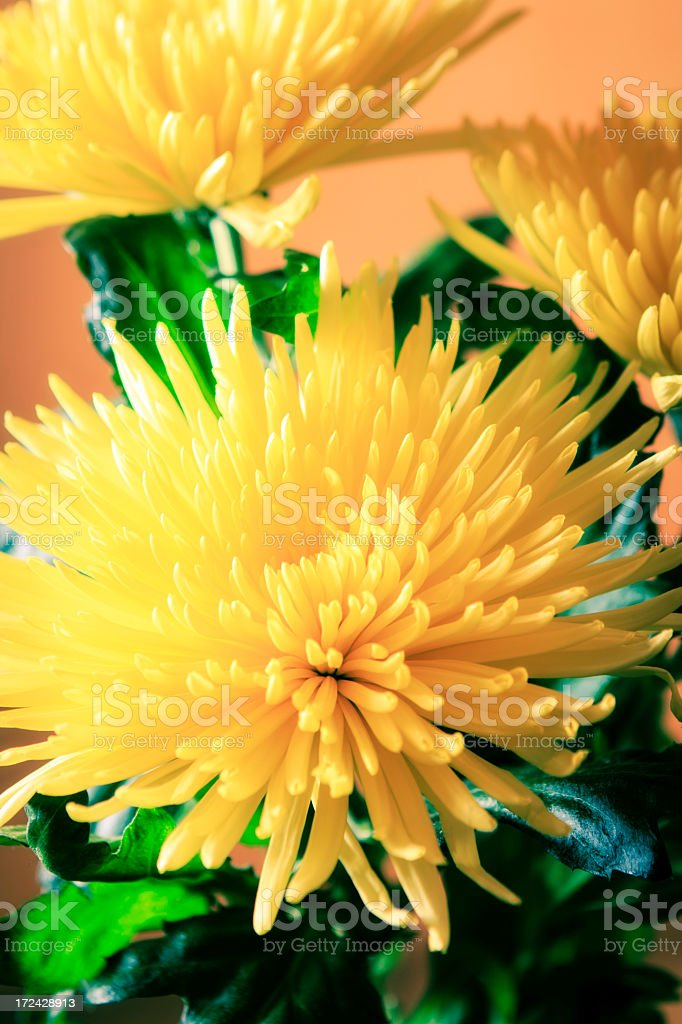 Yellow chrysanthemum royalty-free stock photo