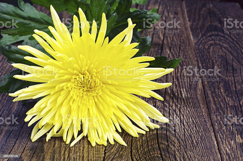 Crisantemo amarillo foto de stock libre de derechos