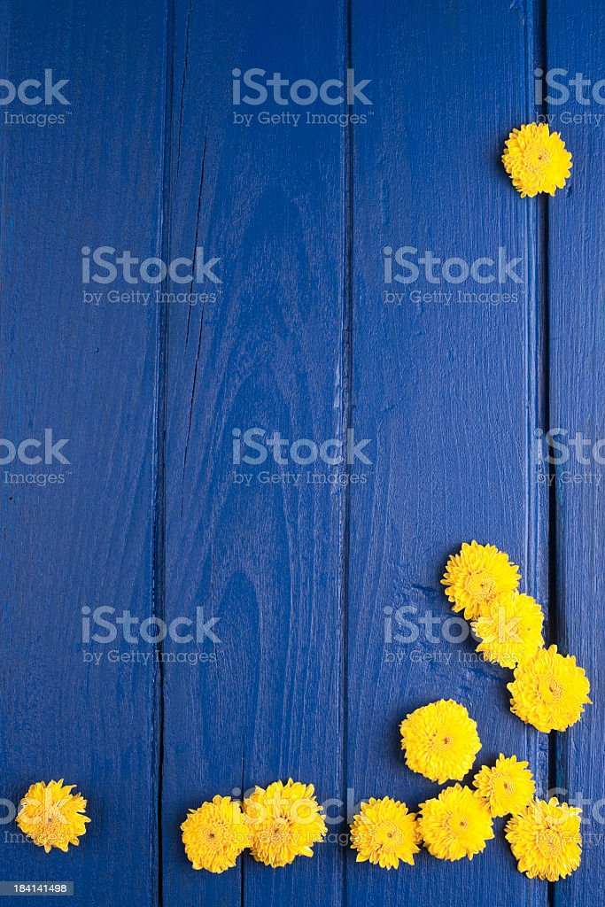 Yellow Chrysanthemums against a blue wooden board background. stock photo