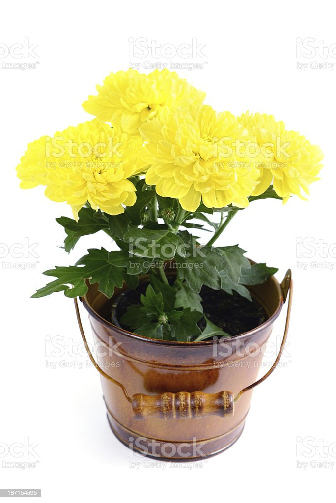 yellow Chrysanthemums flower pot stock photo