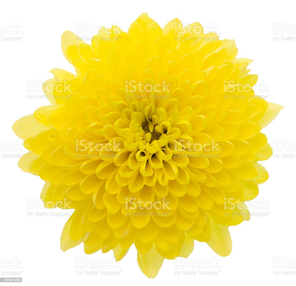 A yellow chrysanthemums on a white background stock photo