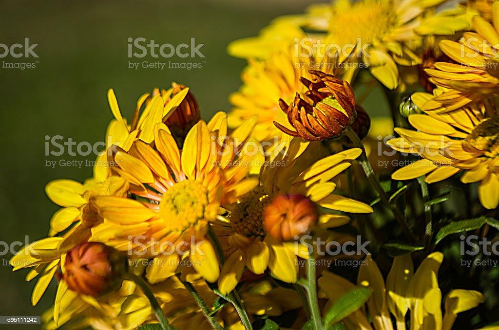 Yellow chrysanthemums stock photo