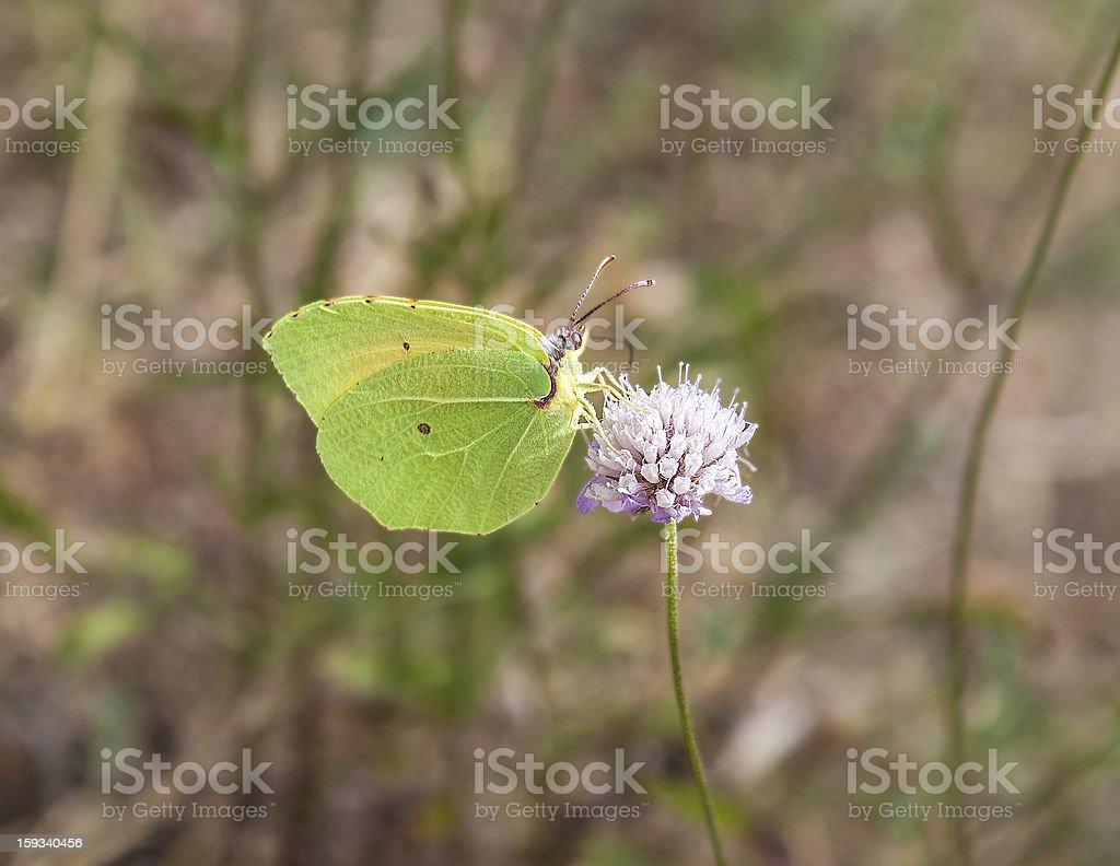 Yellow cleopatra butterfly feeding royalty-free stock photo