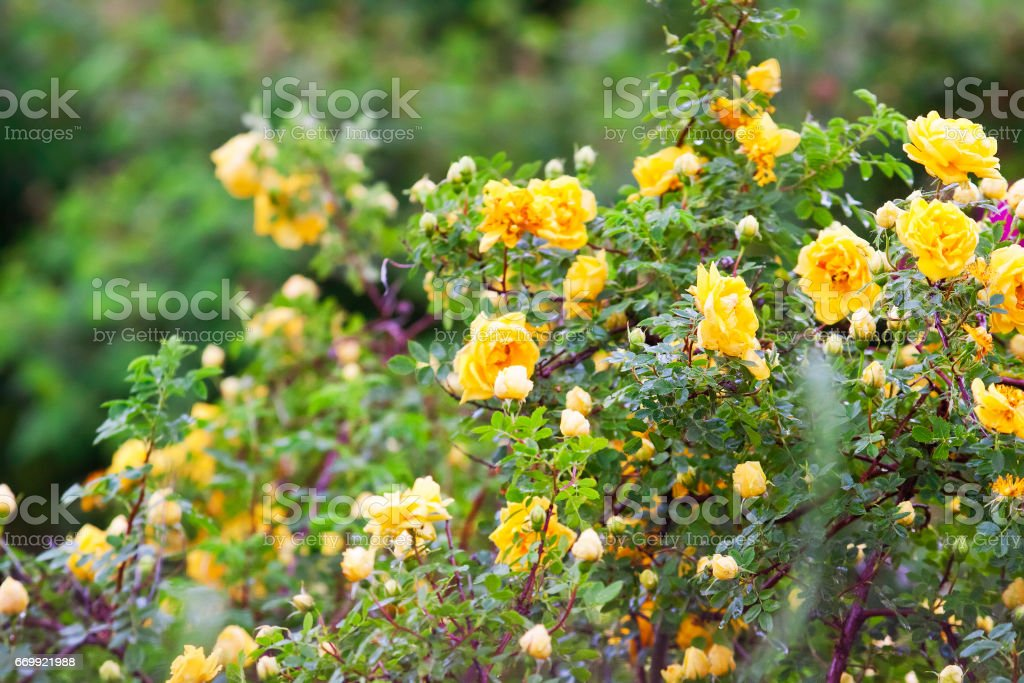 yellow clinging roses, a lush bloom stock photo