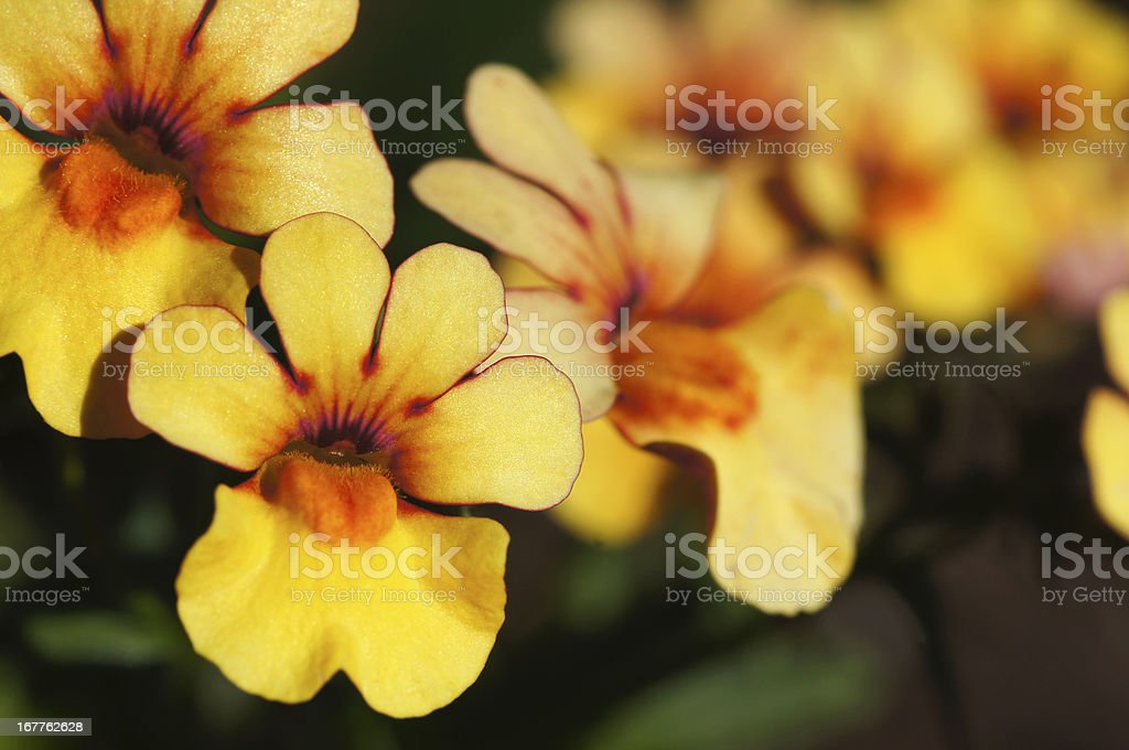 Yellow colored Nemesia fruticans flowers stock photo