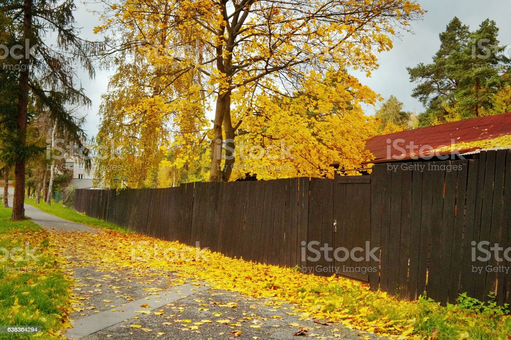Yellow colored tree behind fence and fallen leaves on way stock photo