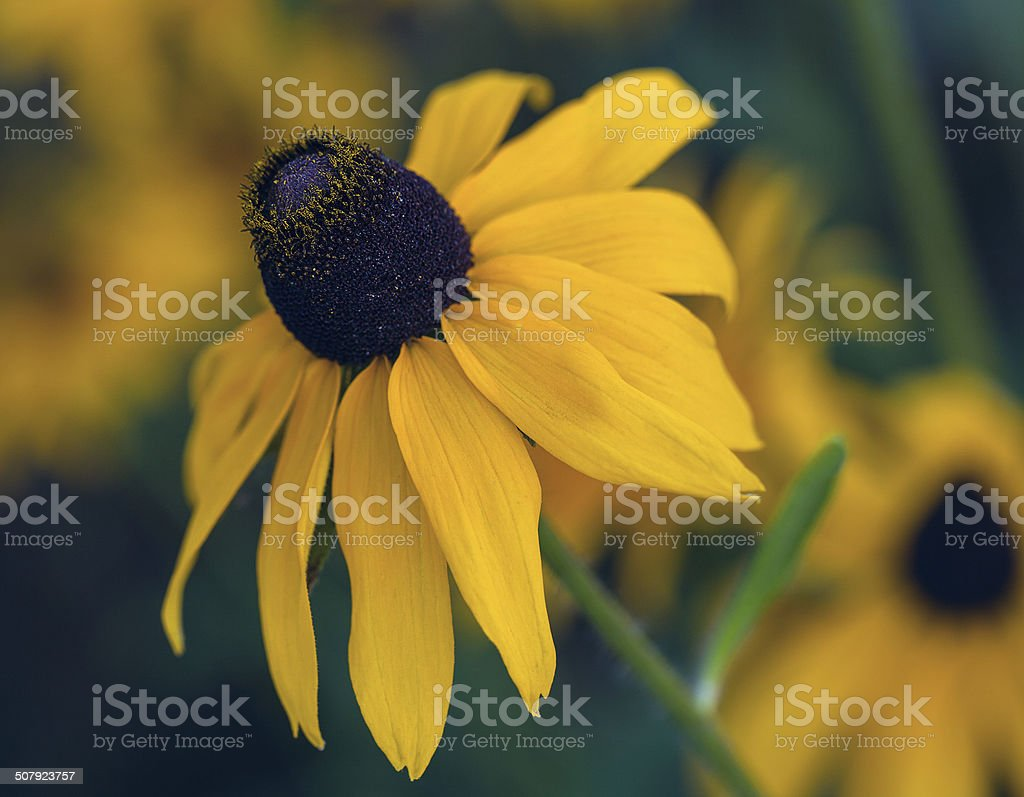 yellow cone flower on blurred background stock photo