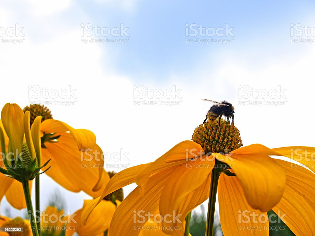 Yellow Cone Flowers and Bee stock photo