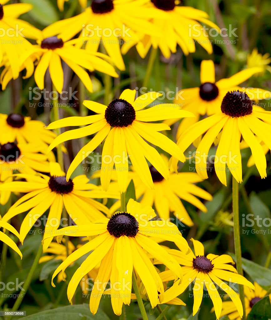 Yellow Coneflower (Echinacea paradoxa) stock photo