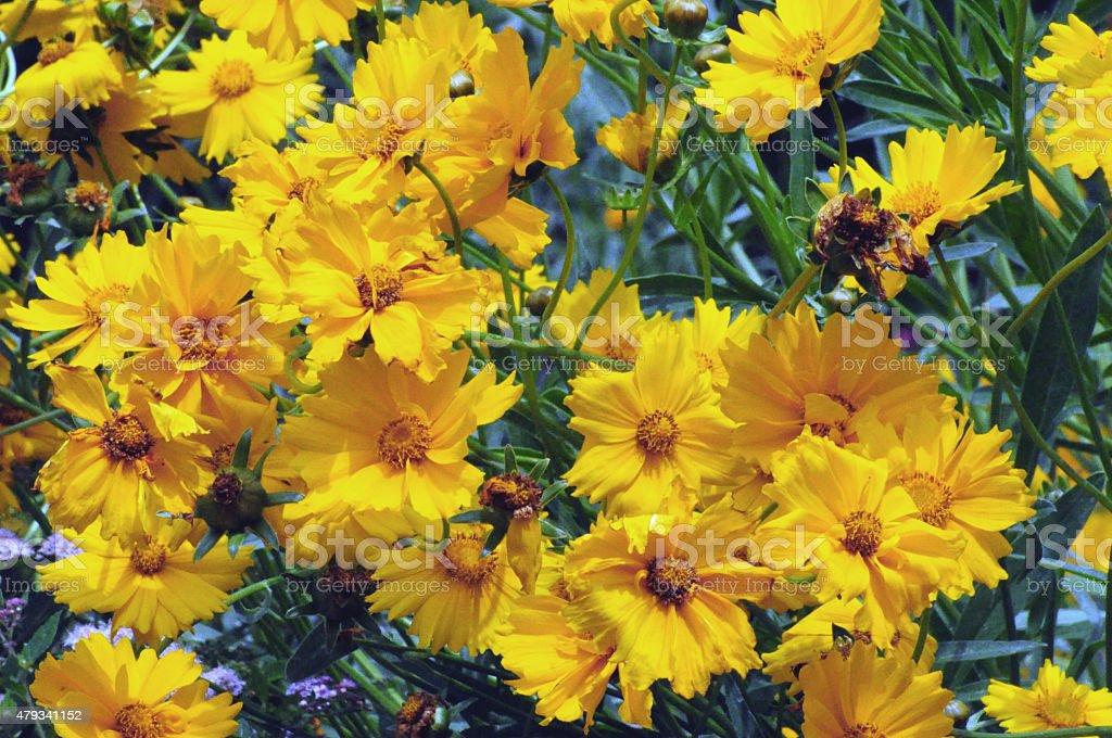 Yellow Coreopsis (tickseed) flowers stock photo