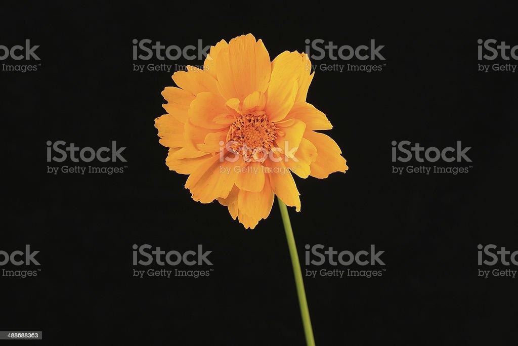 Yellow Coreopsis on Black Background stock photo