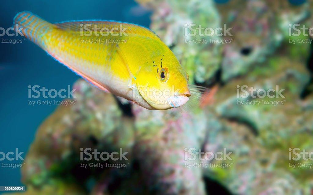 Yellow Coris Wrasse stock photo