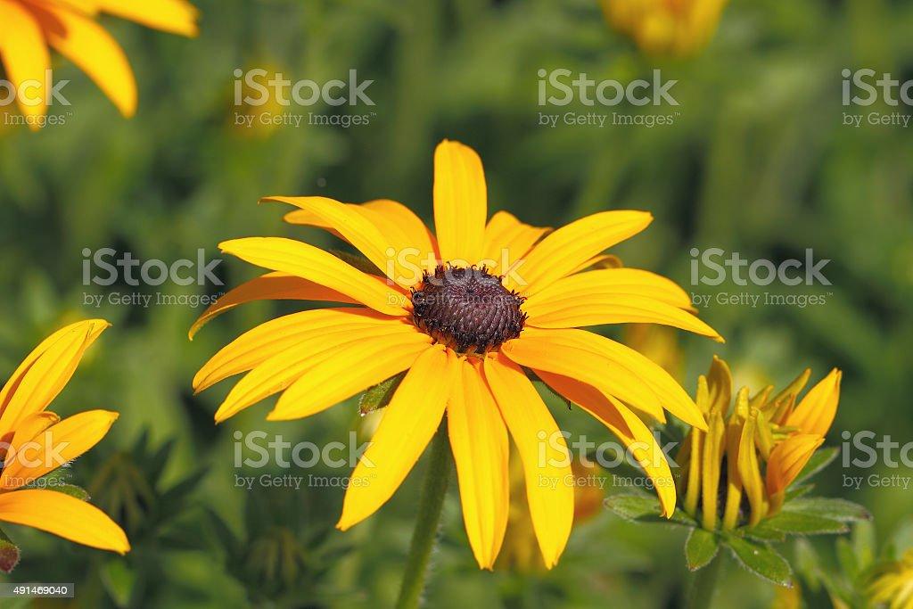 Yellow Cornflower (Echinacea) stock photo