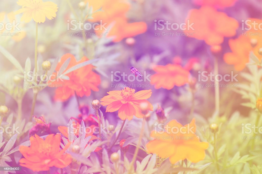 Yellow Cosmos and bee with colourful rainbow stock photo