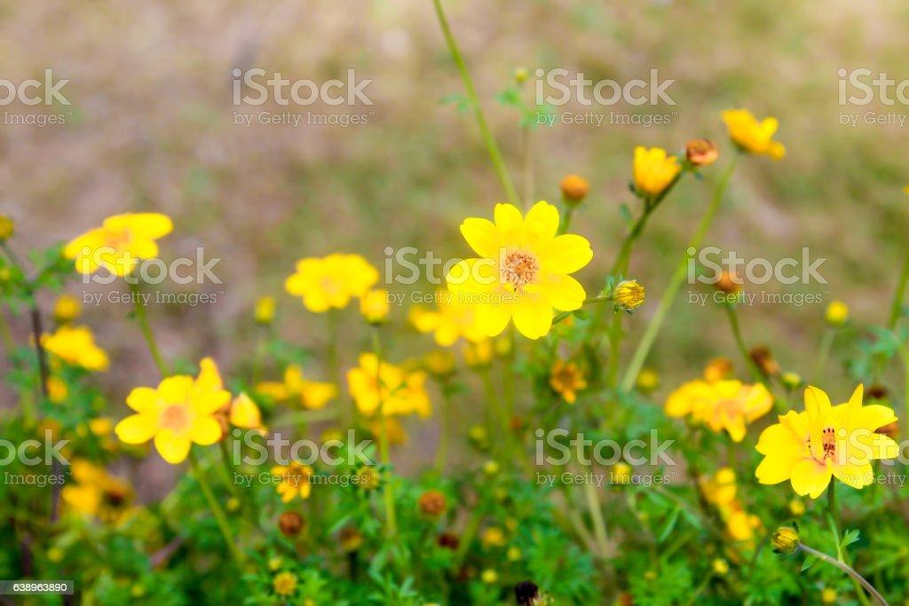 Yellow cosmos flower stock photo