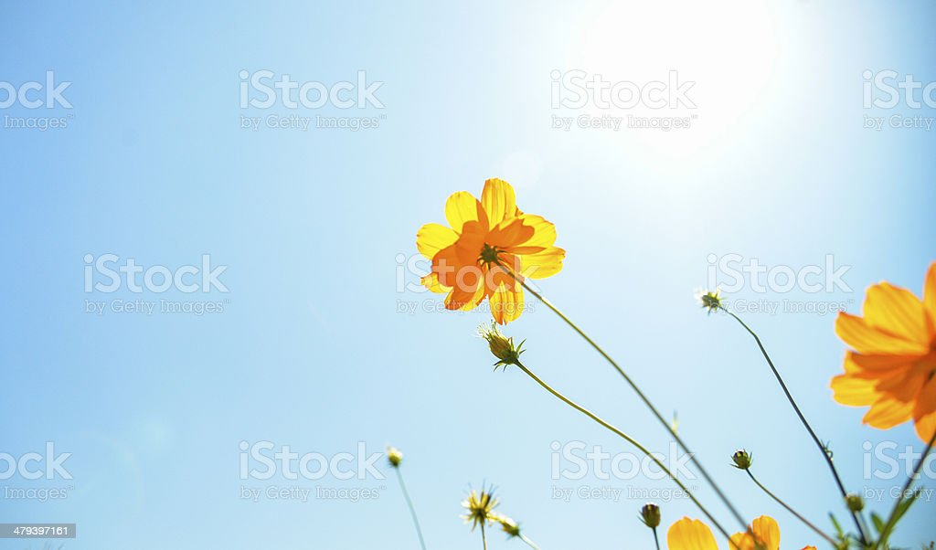 Yellow Cosmos flower with sunshine5 stock photo