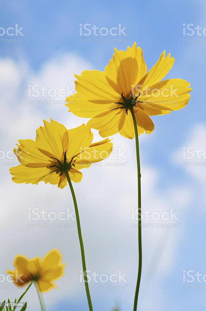 Yellow Cosmos on blue sky background royalty-free stock photo