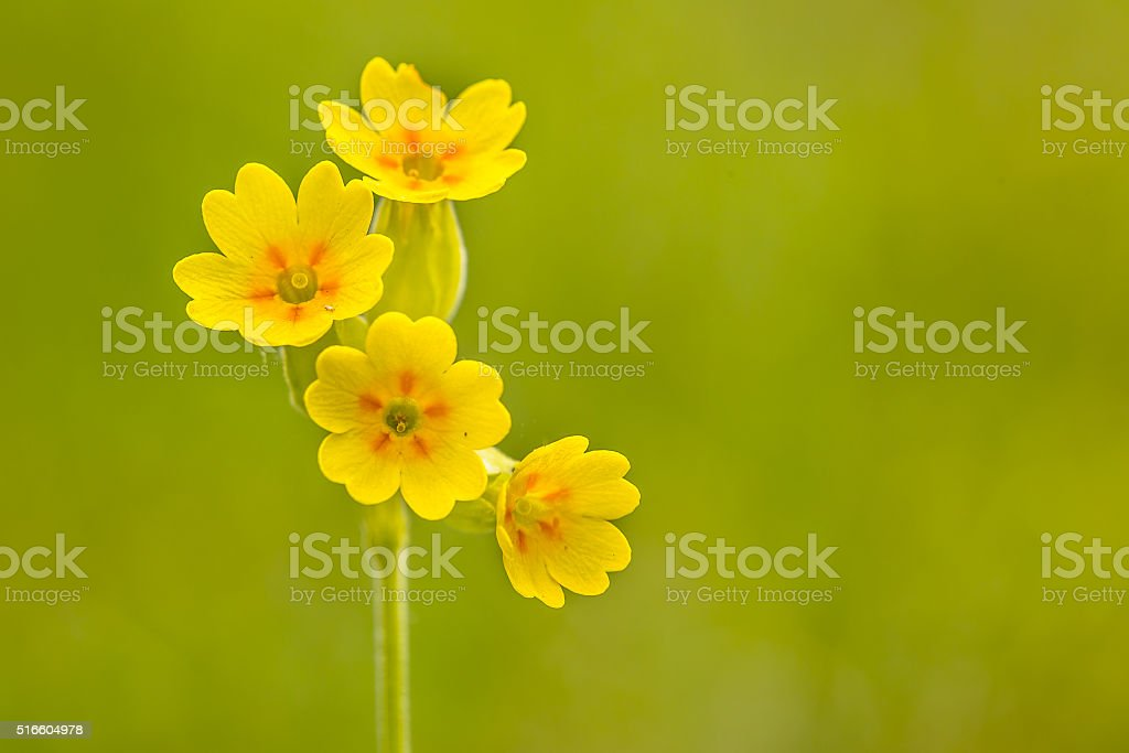 Yellow cowslip flowers stock photo