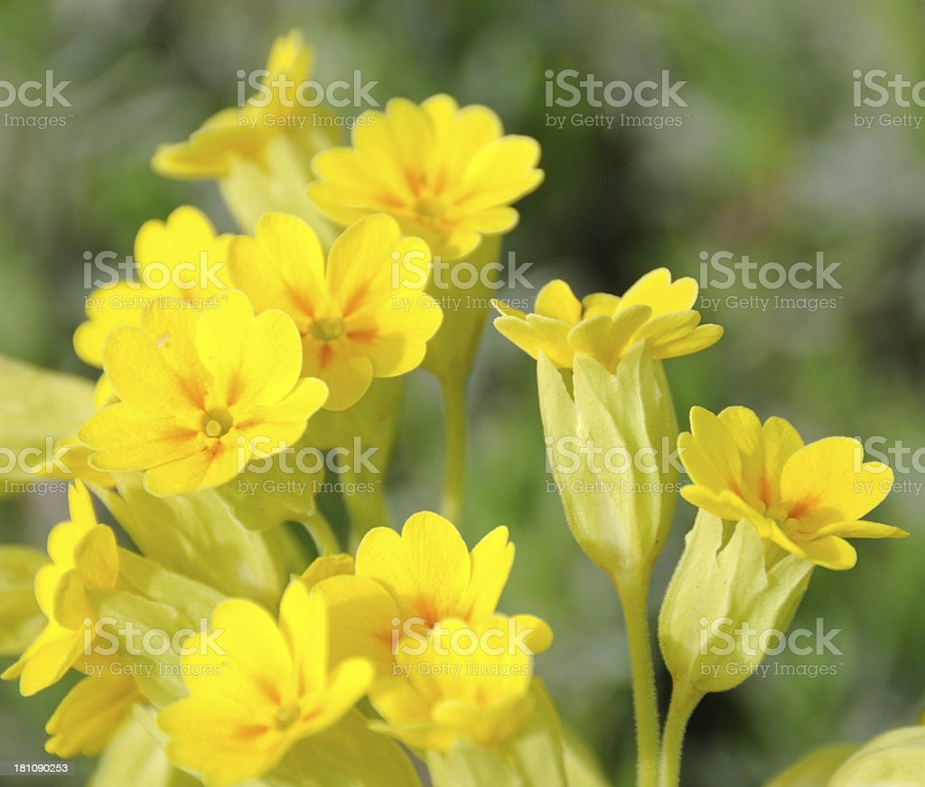 Yellow Cowslips stock photo
