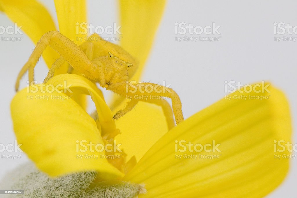 Yellow crab spider on daisy royalty-free stock photo