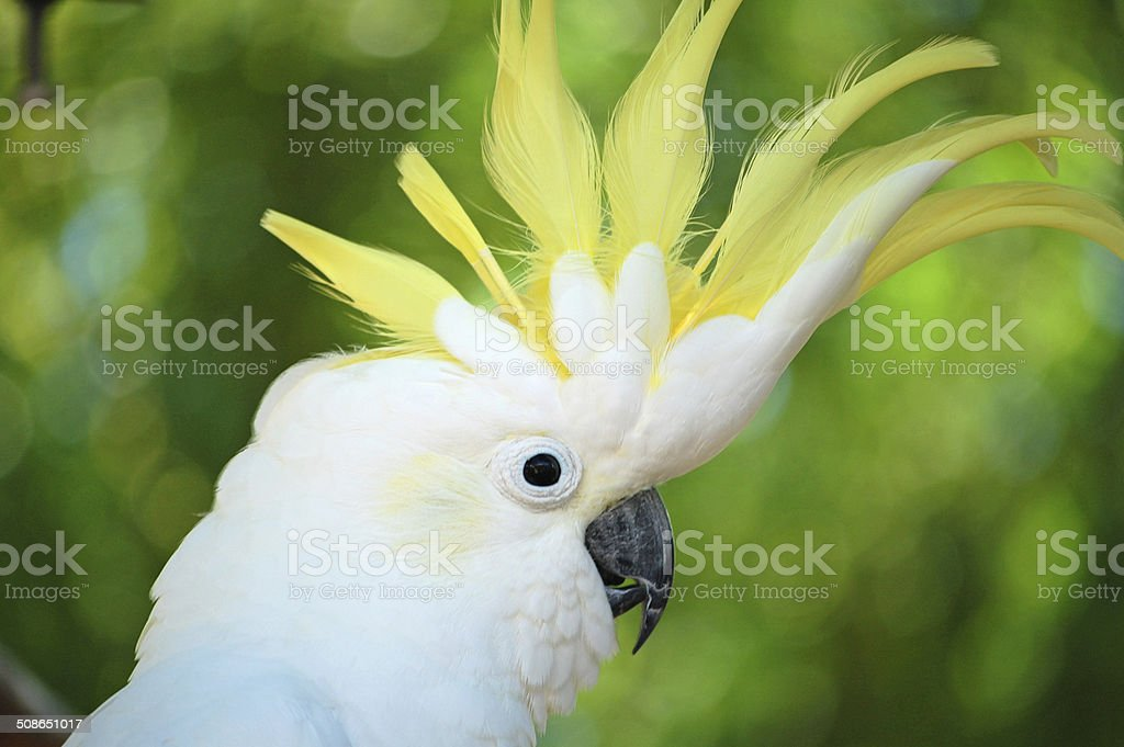 Yellow Crested Cockatoo stock photo