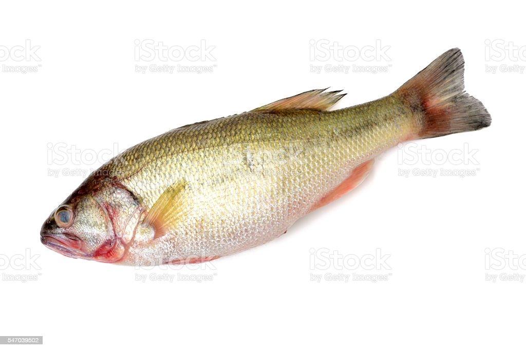 Yellow Croaker Fish stock photo