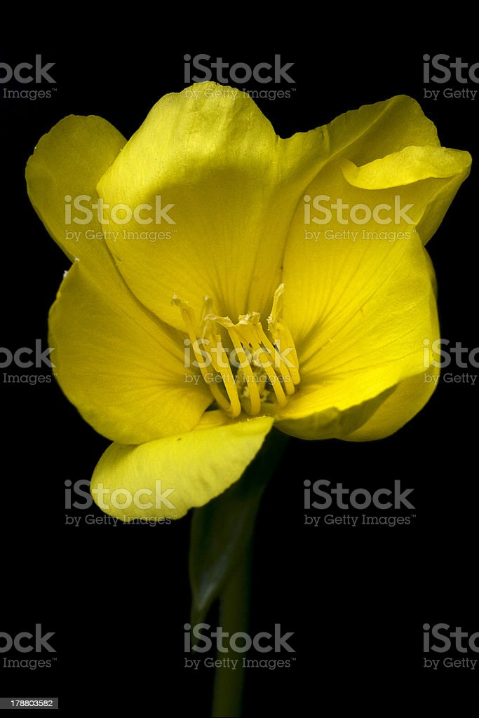 yellow  crocifere royalty-free stock photo