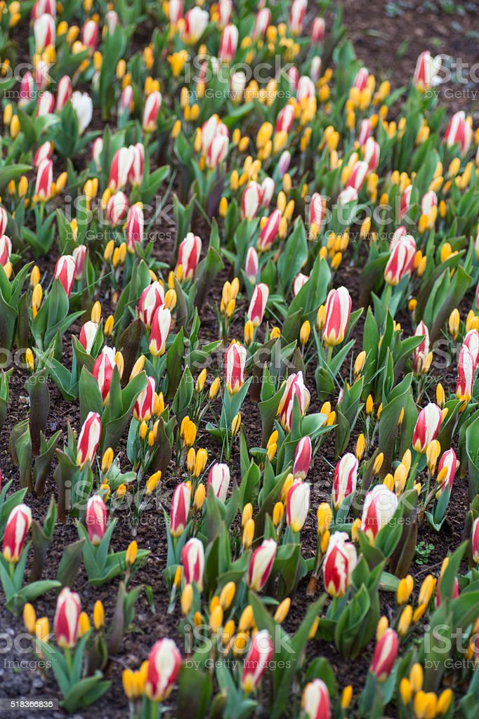 Yellow crocus and white red tulips stock photo