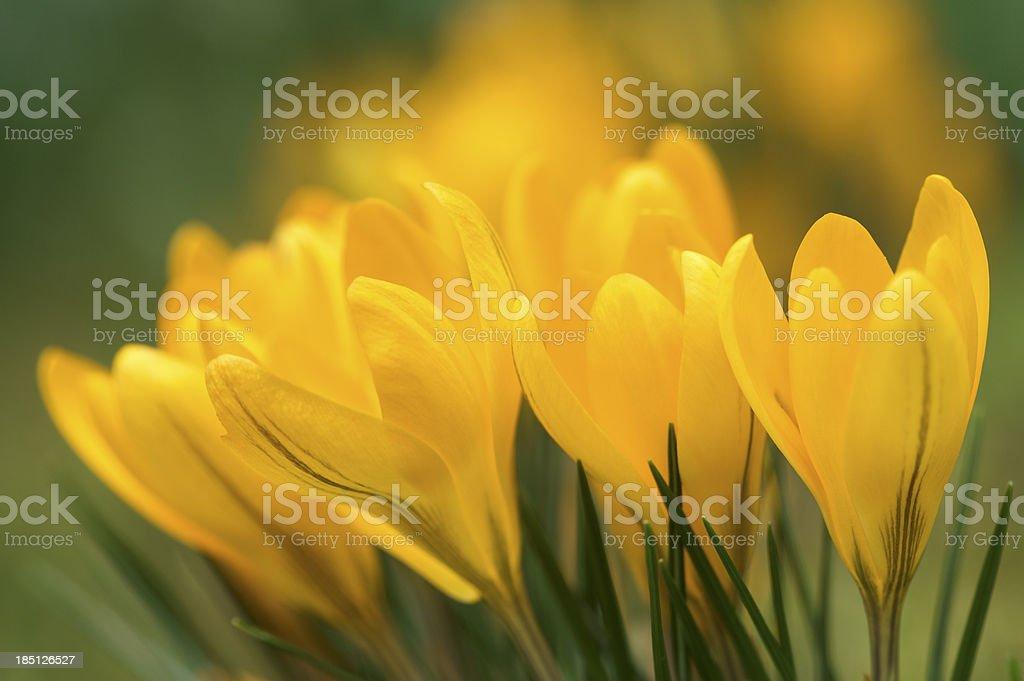 yellow crocus flowers stock photo