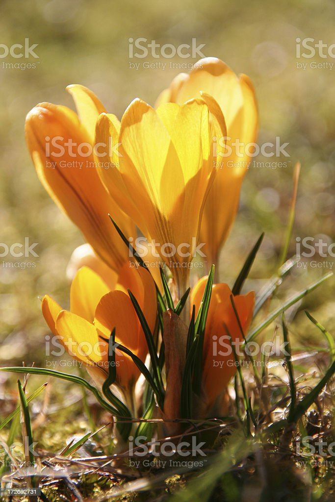 yellow crocus in the sunlight royalty-free stock photo