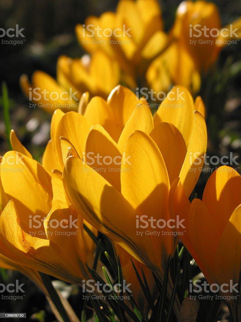 Amarillo azafrán foto de stock libre de derechos