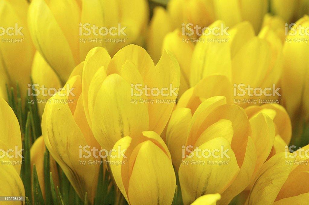 Yellow crocus stock photo