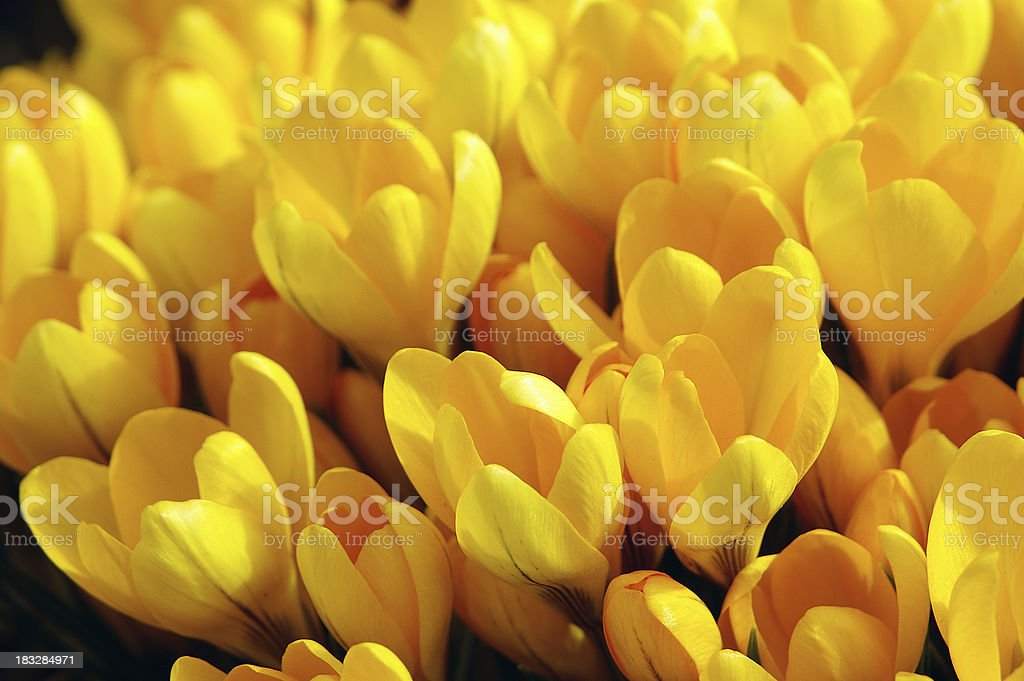 Yellow Crocus royalty-free stock photo