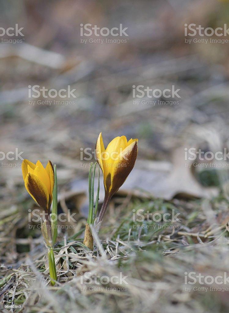 Yellow crocus royalty-free stock photo
