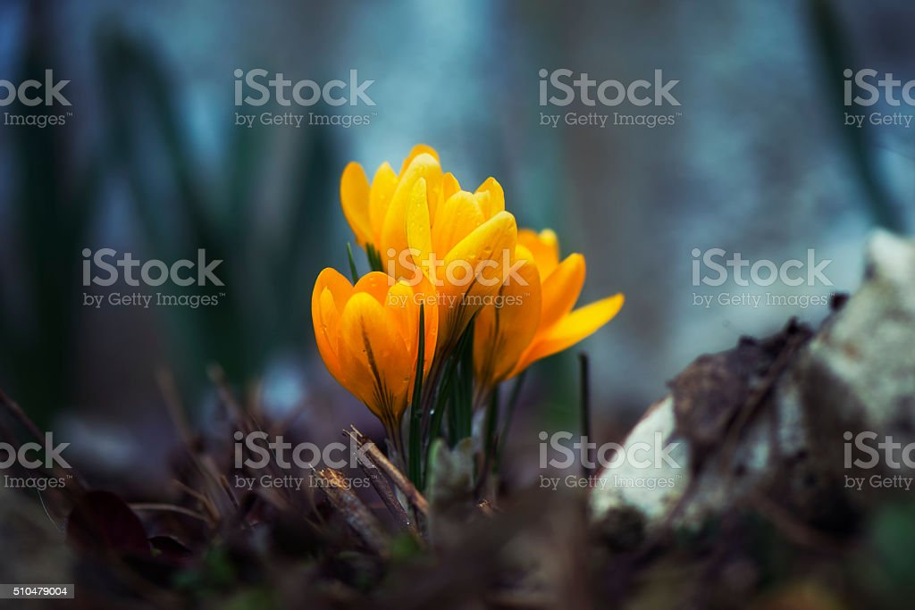 Yellow crocuses in the forest royalty-free stock photo