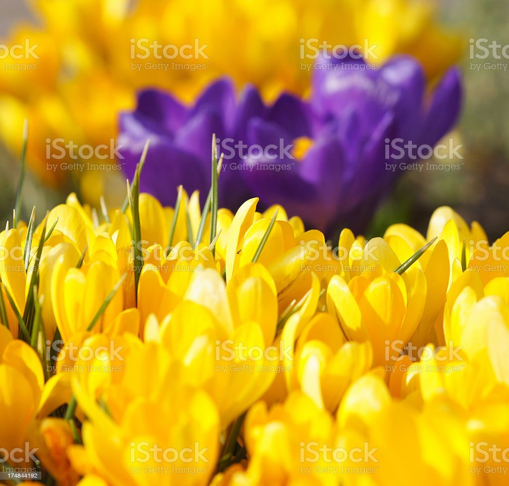 Yellow crocuses royalty-free stock photo