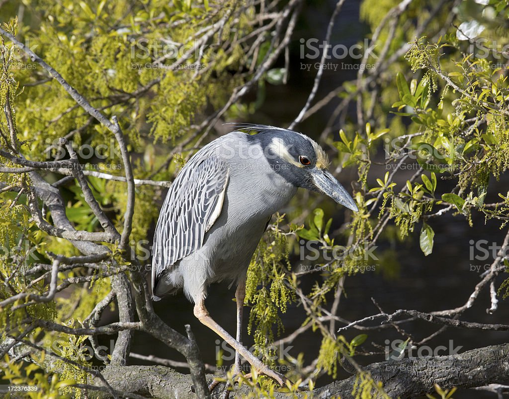 Yellow crowned night heron royalty-free stock photo