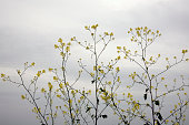 Yellow cruciferous flowers
