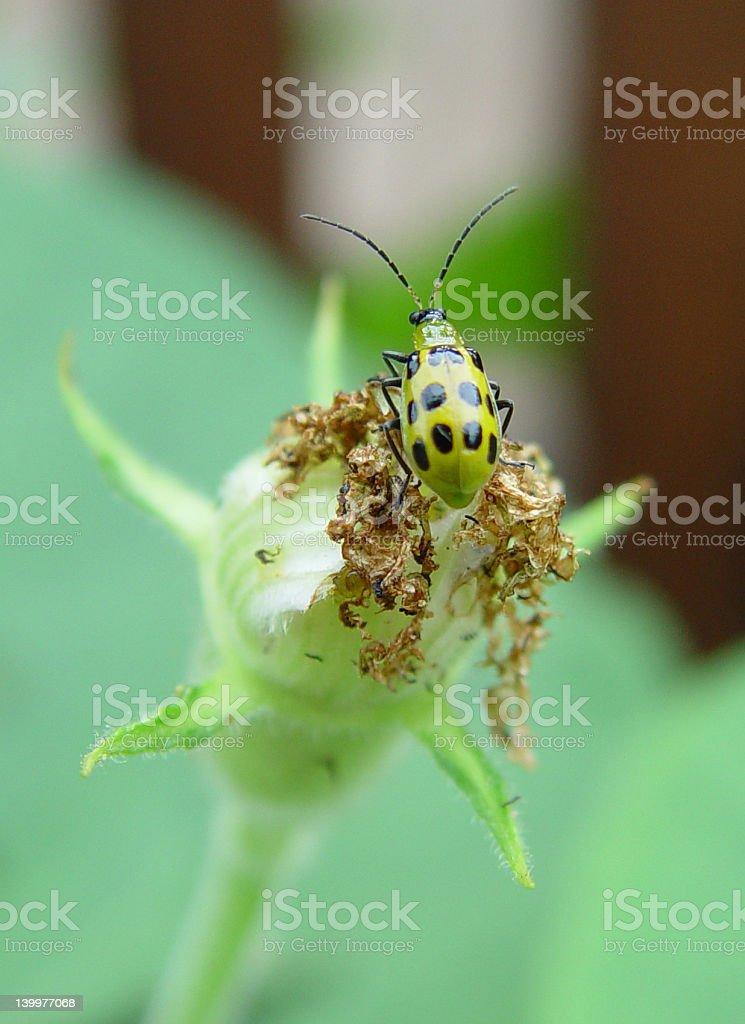 Yellow Cucumber Beetle stock photo