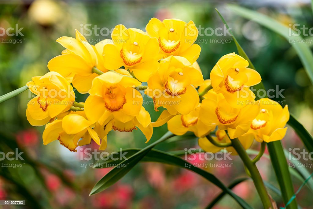 Yellow cymbidium flower stock photo
