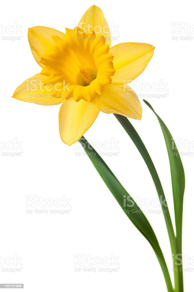 Yellow daffodil against white background stock photo